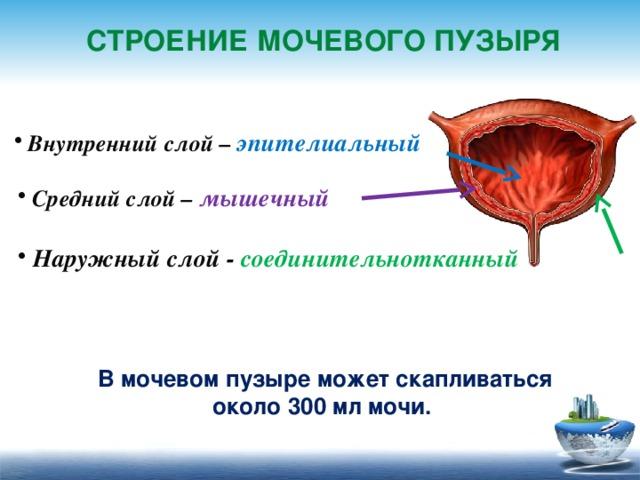 Мочевой пузырь: фото и строение мочеполовой системы женщин и мужчин